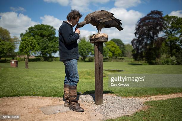 Bird staff Adam spends time with Moccas a one year old Andean Condor at the ICBP on May 16 2016 in Newent England Sharing such close contact with...