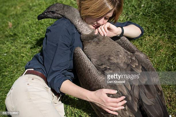 Bird staff Holly Cale spends time with Moccas a one year old Andean Condor at the ICBP on May 16 2016 in Newent England Sharing such close contact...