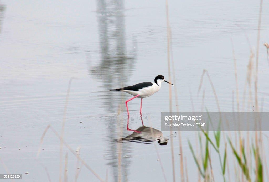 Bird standing in pond : Stock Photo