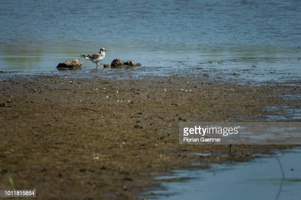 A bird stands in a nearly dried up lake on August 01 2018 in Diehsa Germany Farmers complain harvest losses because of the dry weather over the last...