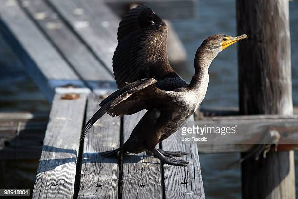 A bird stetches its wings as efforts continue in the Gulf of Mexico to try to protect the coast line from the massive oil spill on May 10 2010 in...