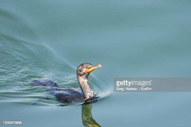 bird swimming in lake - greg nadeau stock pictures, royalty-free photos & images