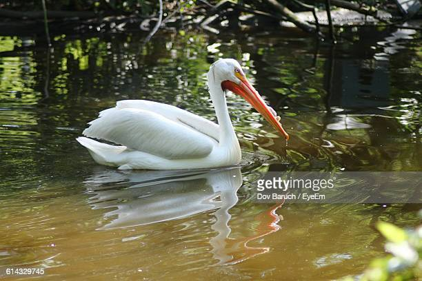 bird swimming in river - barulho stock pictures, royalty-free photos & images