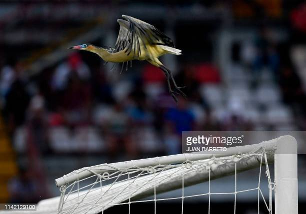 A bird takes flight from the crossbar during the Copa Libertadores football tournament match between Venezuela's Zamora and Brazil's Atletico Mineiro...