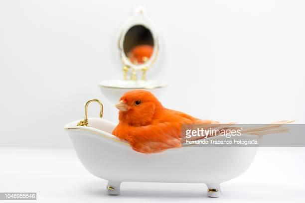 bird taking a bath in the bathtub - specchietto foto e immagini stock
