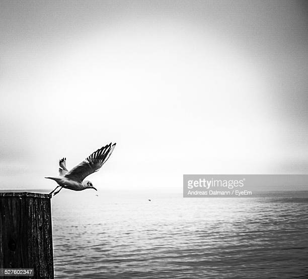 Bird Taking Of For Flight Over Sea Against Clear Sky