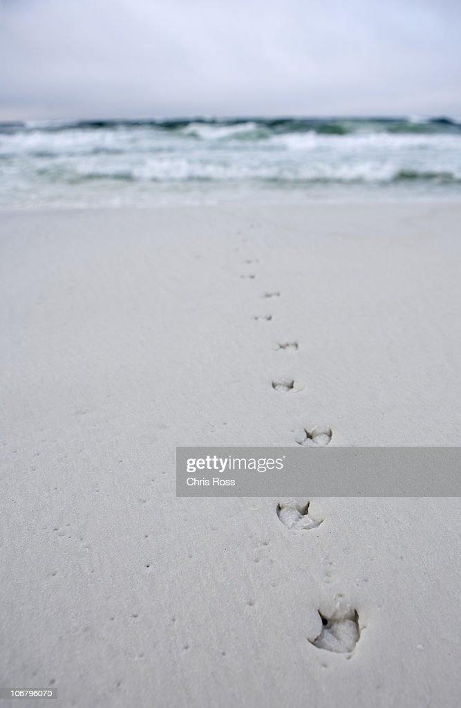 Bird tracks lead into the ocean from the beach.