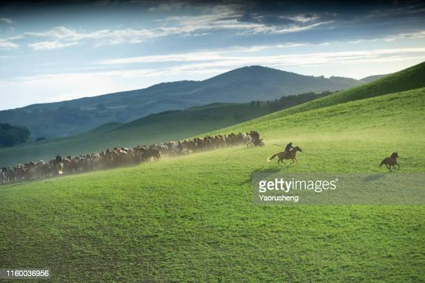 bird view of group of wild horse run on the grassland - stampeding stock pictures, royalty-free photos & images