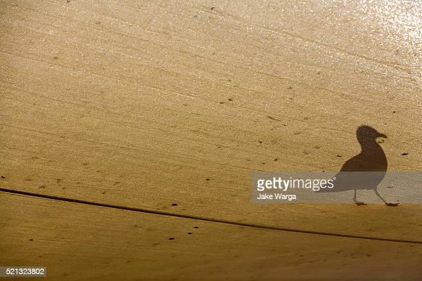 bird walking on overhead canvas, tasmania, australia - jake warga stock pictures, royalty-free photos & images