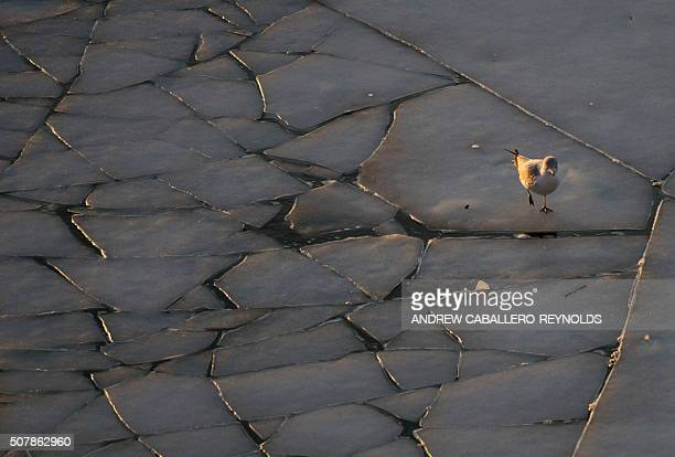 A bird walks over ice breaking up on the frozen Potomac river in Washington DC on February 1 2016 / AFP / Andrew CaballeroReynolds