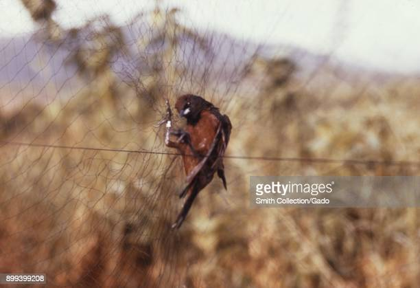 A bird with its claws entangled in the net caught in a tall grass field to later be tested for arbovirus presence 1974 Image courtesy Centers for...