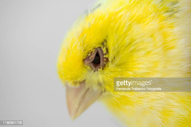 bird with sick eye - smallpox virus stock pictures, royalty-free photos & images