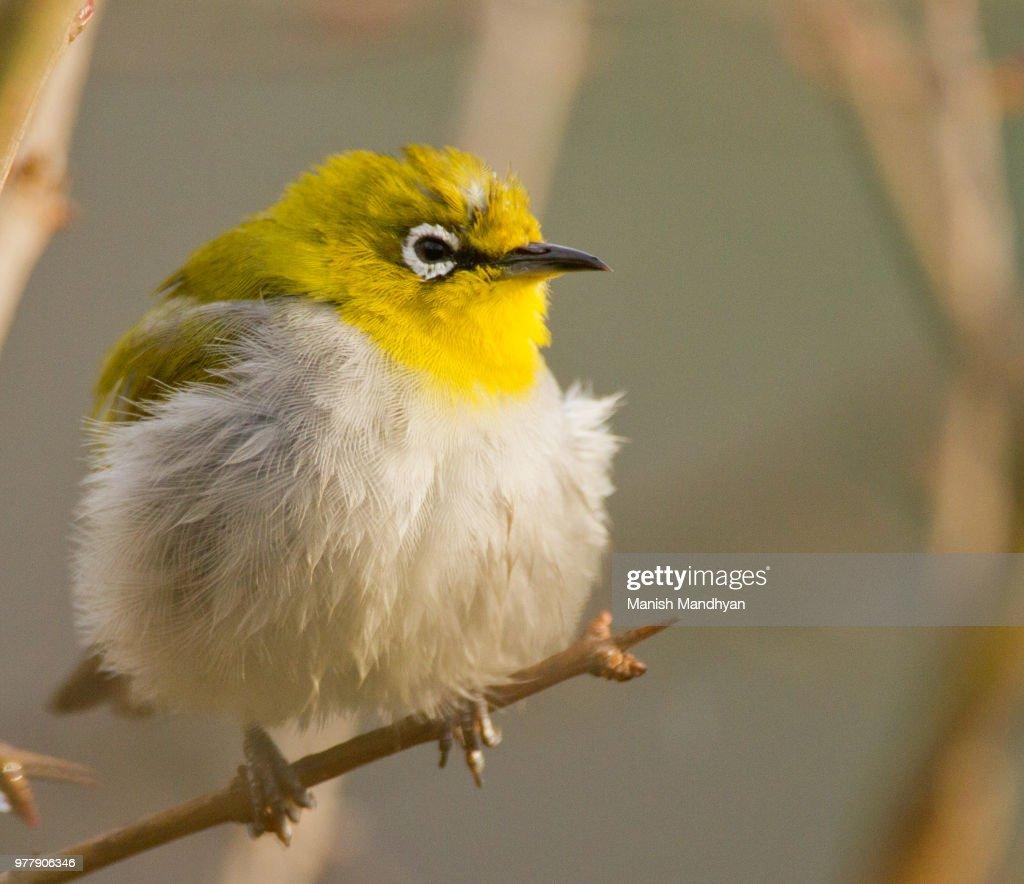 bird with yellow head perching on tree uttarakhand india stock photo