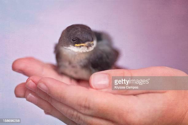 Birdie (swallow) in girl hands