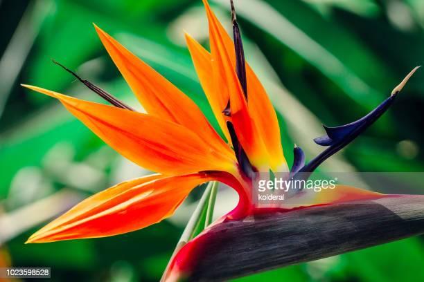 bird-of-paradise (strelitzia reginae) flower in public park - exotisme photos et images de collection