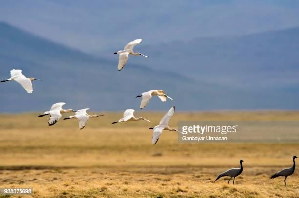 birds and wild life in mongolia - semiarid stock-fotos und bilder