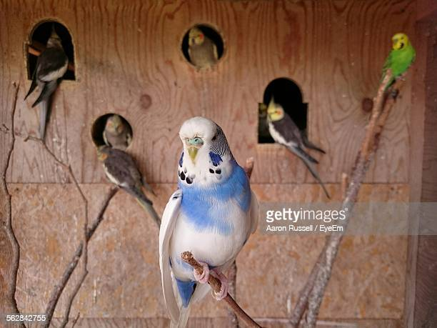 birds at house - cockatiel stock pictures, royalty-free photos & images