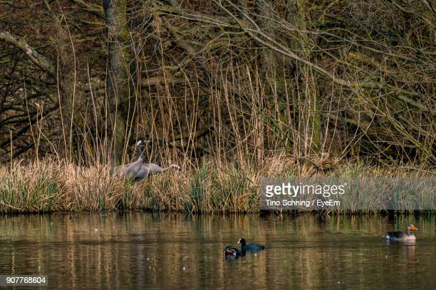 Birds At Lake By Bare Trees In Forest