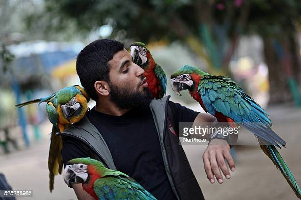 Birds belong to the macaw parrots sit on the arms and shoulders of the zookeeper Ahmed Jomaa 20yearsold at Rafah Zoo in the southern of Gaza Strip on...