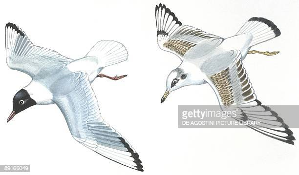 Birds Charadriiformes Blackheaded Gulls adult and young illustration