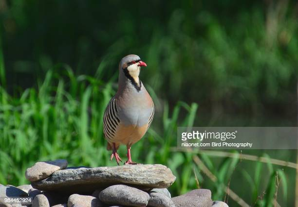 birds - chukar - common quail stock pictures, royalty-free photos & images