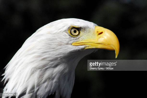 World S Best Bald Eagle Wallpaper Stock Pictures Photos