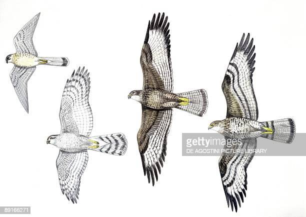Birds Common Kestrel Accipitridae Goshawk Common Buzzard and Honey Buzzard illustration