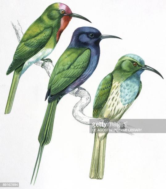 Birds Coraciiformes Redbearded Beeeater Bluebearded Beeeater Celebes Beeeater illustration