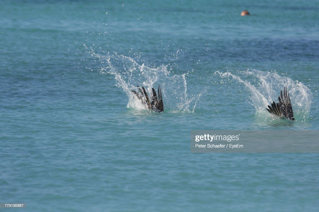 Birds Diving In Sea : Stock Photo