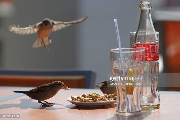 Birds eat peanuts on a table on September 7 2015 in the French northwestern sea resort of Deauville AFP PHOTO / CHARLY TRIBALLEAU