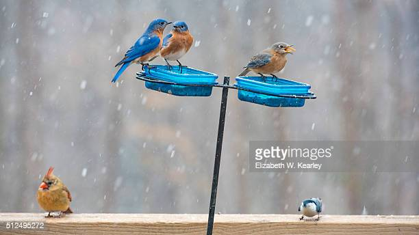 birds eating on a colorful blue feeder during falling snow. - blue cardinal bird stock pictures, royalty-free photos & images