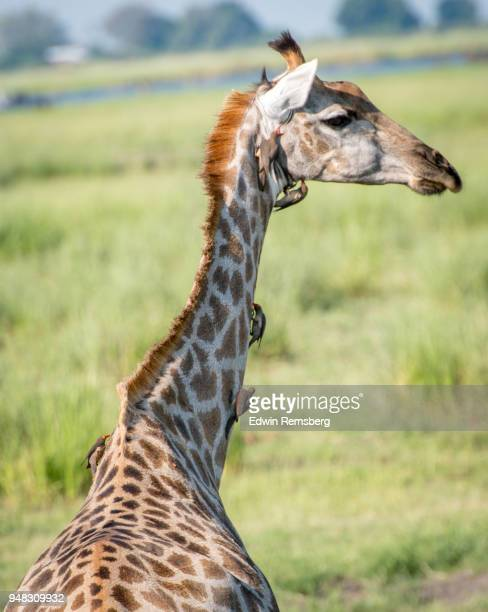 birds eating parasites off of giraffe - parasite stock pictures, royalty-free photos & images