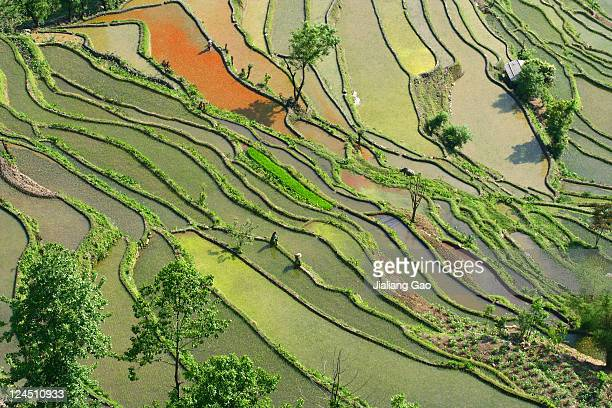 Birds eye view of terrace rice fields, China