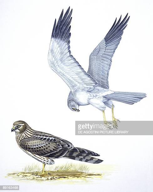 Birds Falconiformes Hen Harrier and Goshawk illustration