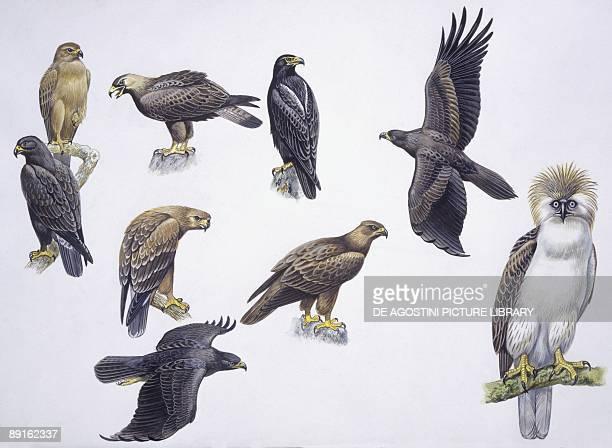 Birds Falconiformes