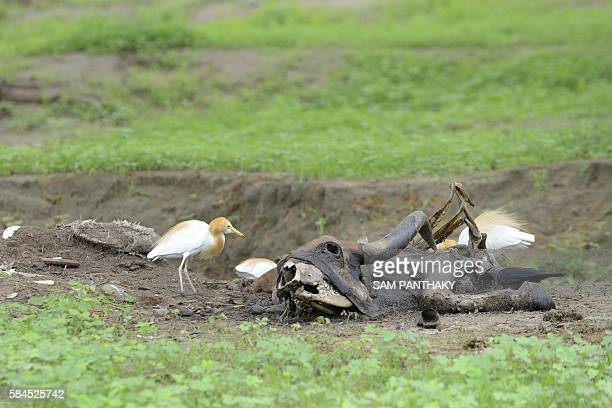 Birds feast upon the carcass of a cow on the outskirts of Bhuvaldi village of Ahmedabad district on July 29, 2016. Indian Dalit, Sombhai Chamar...