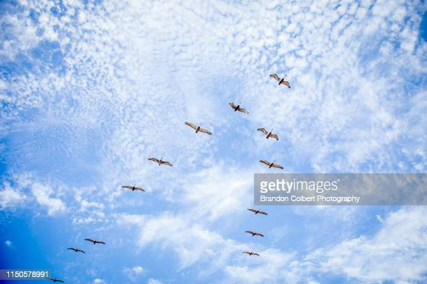 bird's flying high - animal migration stock pictures, royalty-free photos & images