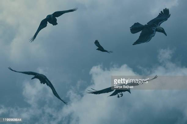 birds flying in sky - crow bird stock pictures, royalty-free photos & images