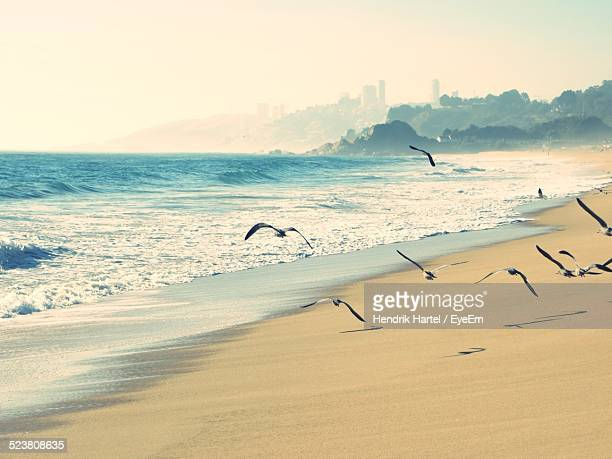 birds flying over beach - vina del mar stock pictures, royalty-free photos & images