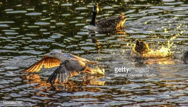 birds flying over lake - eagles london stock pictures, royalty-free photos & images