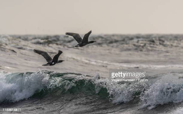 birds flying over sea against clear sky during sunset - vegard hanssen stock pictures, royalty-free photos & images