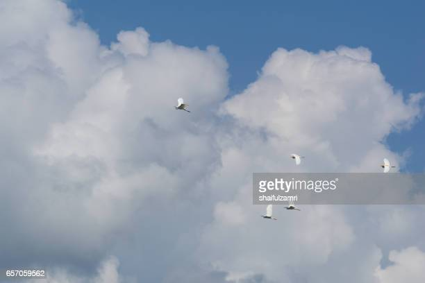 birds flying with blue sky formation in royal belum rainforest - shaifulzamri stock pictures, royalty-free photos & images