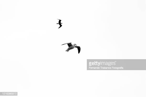 birds flying with white background - seagull stock pictures, royalty-free photos & images