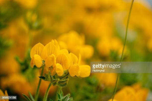 Bird's Foot Trefoil, yellow flowers