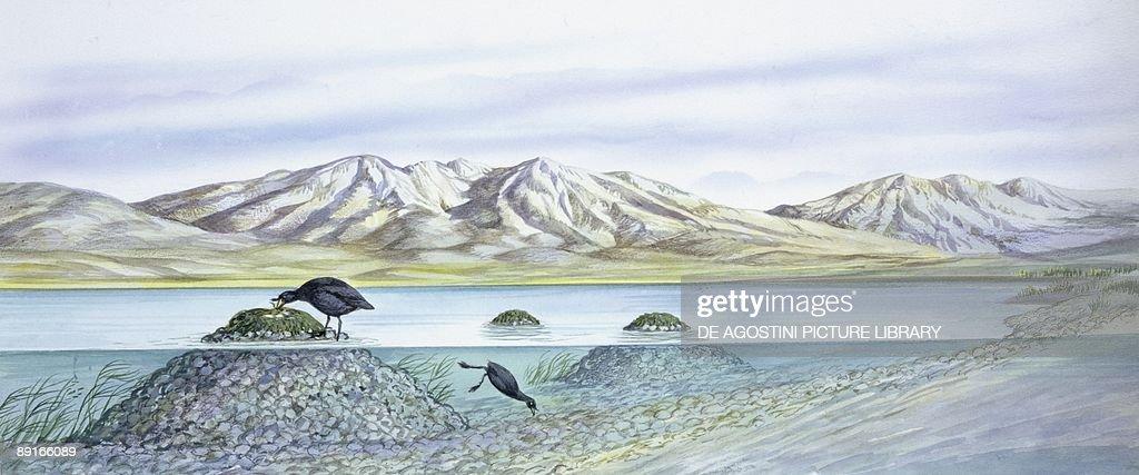 Birds: Gruiformes, Couple of Horned Coot (Fulica cornuta) collecting pebbles from water and buiding nest, illustration : Fotografía de noticias