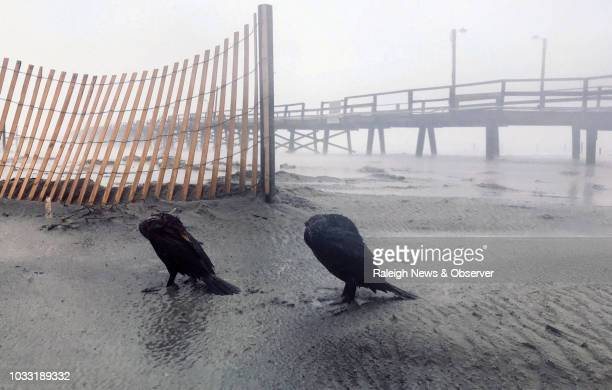 Birds huddle against the wind and rain of Hurricane Florence at the Oceana Pier in Atlantic Beach NC Friday morning Sept 14 2018 Hurricane Florence...