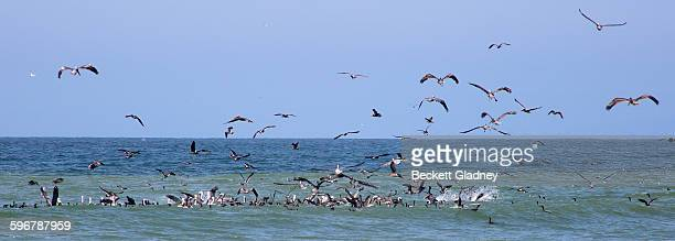 birds in a fish feeding frenzy - feeding frenzy stock photos and pictures