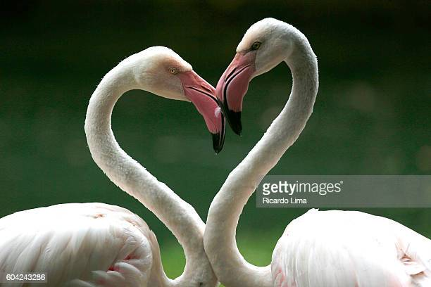 birds in amazon region - flamingo heart stock pictures, royalty-free photos & images