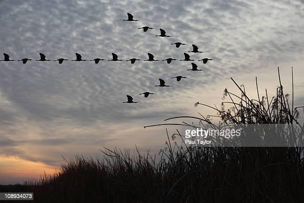 birds in arrow pattern - vogelschwarm formation stock-fotos und bilder