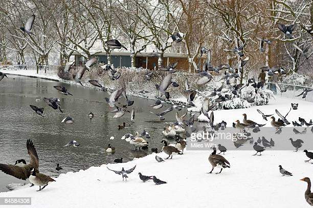 Birds in Finsbury Park fly into the air in the snow on February 2 2009 in London England The United Kingdom has suffered its heaviest snowfall since...